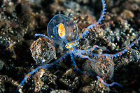A Juvenile Octopus, likely Wunderpus, crawls on the seafloor.  <br /> <br /> The main body of this individual is only about 2-3 cm in diameter.  The species was scientifically described only in 2006, so still not much is known its larval/planktonic stages.<br /> <br /> Shot in Indonesia