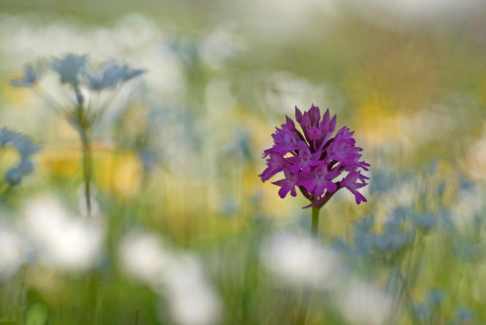 Allium neapolitanum; Anacamptis pyramidalis; Apulia; Gargano National Park; Gargano Peninsula; Italy; Naples Garlic; Pyramidal Orchid; Vieste
