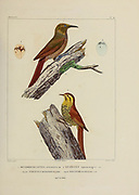 hand coloured sketch Top: plain-brown woodcreeper (Dendrocincla fuliginosa [Here as dendrocolaptes atrirostris]) Bottom: pearled treerunner (Margarornis squamiger [Here as Anabates squammiger]) From the book 'Voyage dans l'Amérique Méridionale' [Journey to South America: (Brazil, the eastern republic of Uruguay, the Argentine Republic, Patagonia, the republic of Chile, the republic of Bolivia, the republic of Peru), executed during the years 1826 - 1833] 4th volume Part 3 By: Orbigny, Alcide Dessalines d', d'Orbigny, 1802-1857; Montagne, Jean François Camille, 1784-1866; Martius, Karl Friedrich Philipp von, 1794-1868 Published Paris :Chez Pitois-Levrault et c.e ... ;1835-1847
