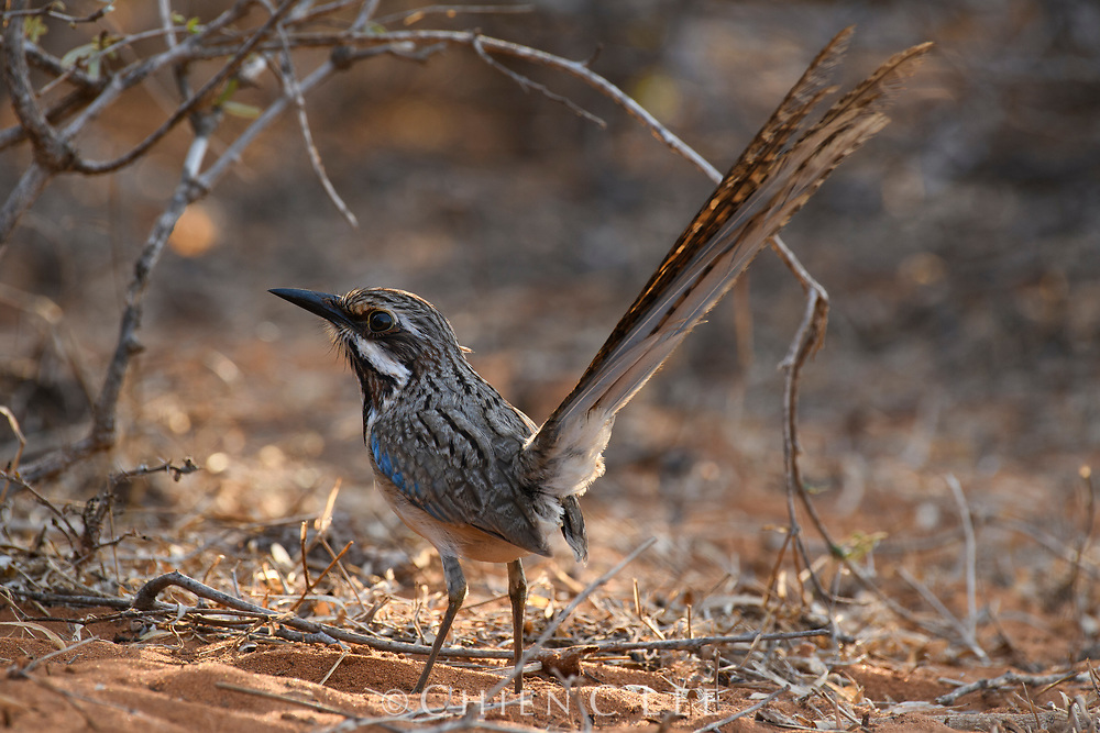 Long-tailed Ground-roller (Uratelornis chimaera), endemic to Madagascar's arid southwest.