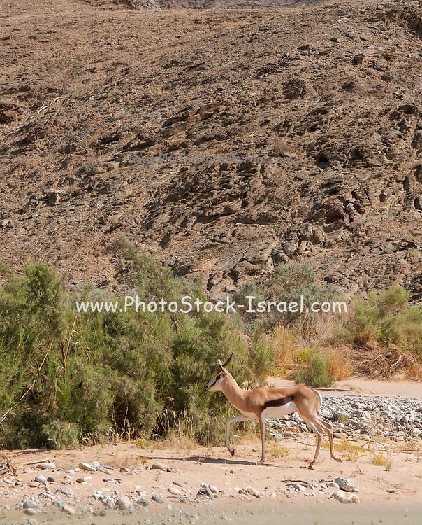 Springbok, Antidorcas marsupialis, Hoanib Riverbed, , Namibia.
