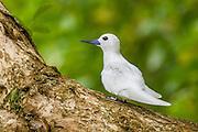 Fairy Tern, D'Arros Island and St Joseph Atoll, Amirantees, Seychelles,