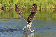 Osprey flies up from pond after capturing a fish, but has lost the grip with one foot. Down stroke of wings shows the flex in the outer wing feathers that generates lift and thrust. © 2015 David A. Ponton