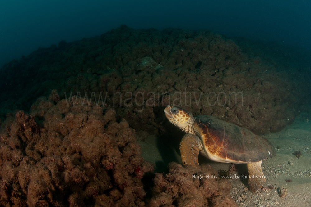 The loggerhead sea turtle (Caretta caretta), or loggerhead, is an oceanic turtle distributed throughout the world. It is a marine reptile, belonging to the family Cheloniidae. The average loggerhead measures around 90 centimeters (35 in) long when fully grown, although larger specimens of up to 270 centimeters (110 in) have been discovered. The adult loggerhead sea turtle weighs approximately 135 kilograms (300 lb), with the largest specimens weighing in at more than 454 kilograms (1,000 lb). The skin ranges from yellow to brown in color, and the shell is typically reddish-brown. There are no external differences in gender until the turtle becomes an adult, the most obvious difference being that adult males have thicker tails and shorter plastrons than the females.<br /> <br /> The loggerhead sea turtle is found in the Atlantic, Pacific, and Indian oceans as well as the Mediterranean Sea. It spends most of its life in saltwater and estuarine habitats, with females briefly coming ashore to lay eggs. The loggerhead sea turtle has a low reproductive rate; females lay an average of four egg clutches and then become quiescent, producing no eggs for two to three years. The loggerhead reaches sexual maturity within 17-33 years and has a lifespan of 47-67 years.<br /> <br /> The loggerhead sea turtle is omnivorous, feeding mainly on bottom dwelling invertebrates. Its large and powerful jaws serve as an effective tool in dismantling its prey. Young loggerheads are exploited by numerous predators; the eggs are especially vulnerable to terrestrial organisms. Once the turtles reach adulthood, their formidable size limits predation to large marine organisms such as sharks.<br /> <br /> Loggerheads are considered an endangered species and are protected by the International Union for the Conservation of Nature.