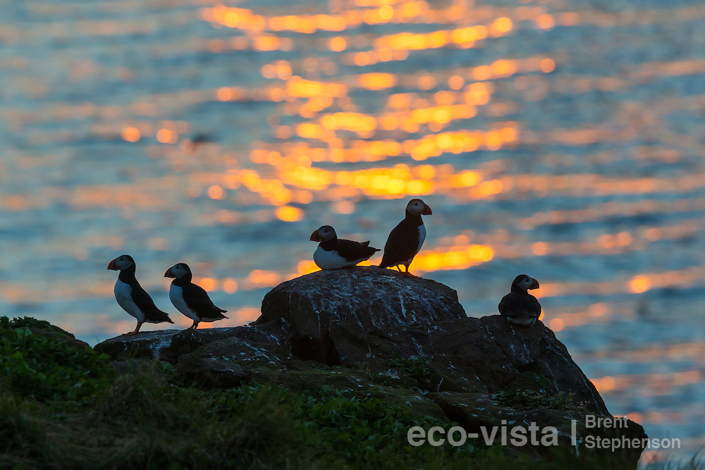 A group of Atlantic puffins (Fratercula arctica) stand on rocks on the edge of the breeding colony, against the setting sun, right on the Arctic Circle. Grimsey, Iceland. July.