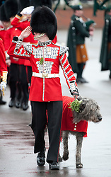 © London News Pictures. 17/03/2012. Aldershot, UK.  CONMEAL the Irish Woolfhound, the regimental mascot for the 1st Battalion Irish Guards after being presented with a traditional sprig of shamrock by The Duchess of Cambride CATHERINE (KATE) MIDDLETON at Mons Barracks in Aldershot, Hampshire, UK, on Saint Patrick's Day, March 17th, 2012.  Photo credit : Ben Cawthra/LNP.