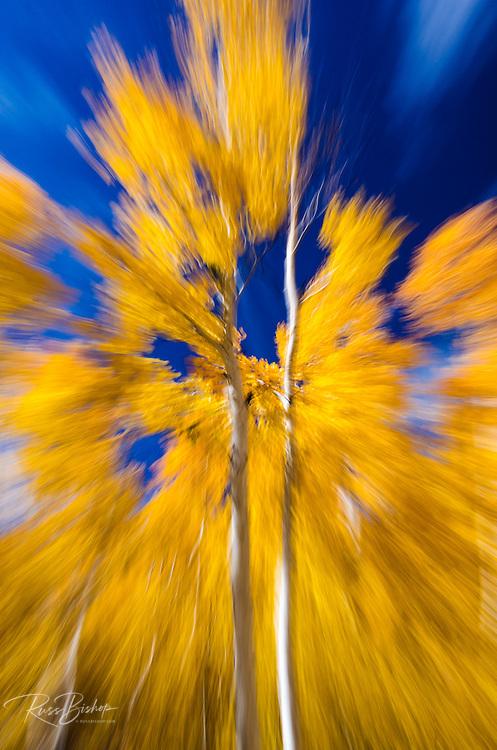 Fall aspen near Virginia Lakes, Humboldt-Toiyabe National Forest, California