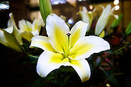 A big, beautiful lily for sale at the Taipei Flower Market.