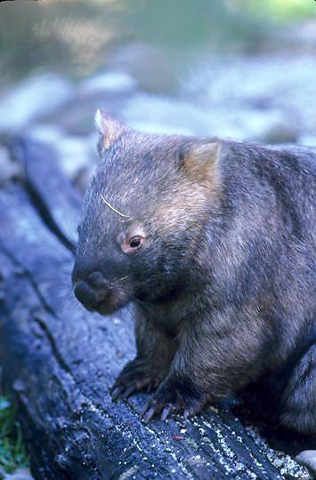 Common Wombat, (Vombatus ursinus) Southern Australia.   Captive Animal.