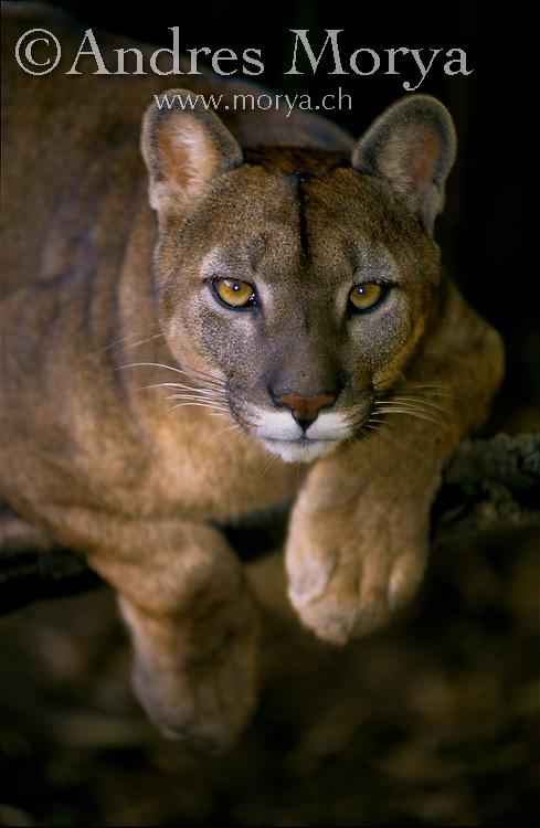 Puma (Puma concolor), La Araucania , Chile Puma (Puma concolor), La Araucania, Chile Image by Andres Morya