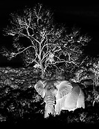 A majestic elephant black and white with a tree on background at serengeti national park Tanzania, Africa.<br /> photo credit by:&copy;Claudio Zamagni
