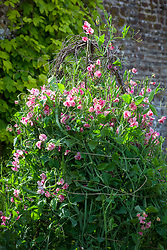Lathyrus odoratus 'Crimson Ripple'. Sweet peas growing up a birch support in the trials bed at Parham House