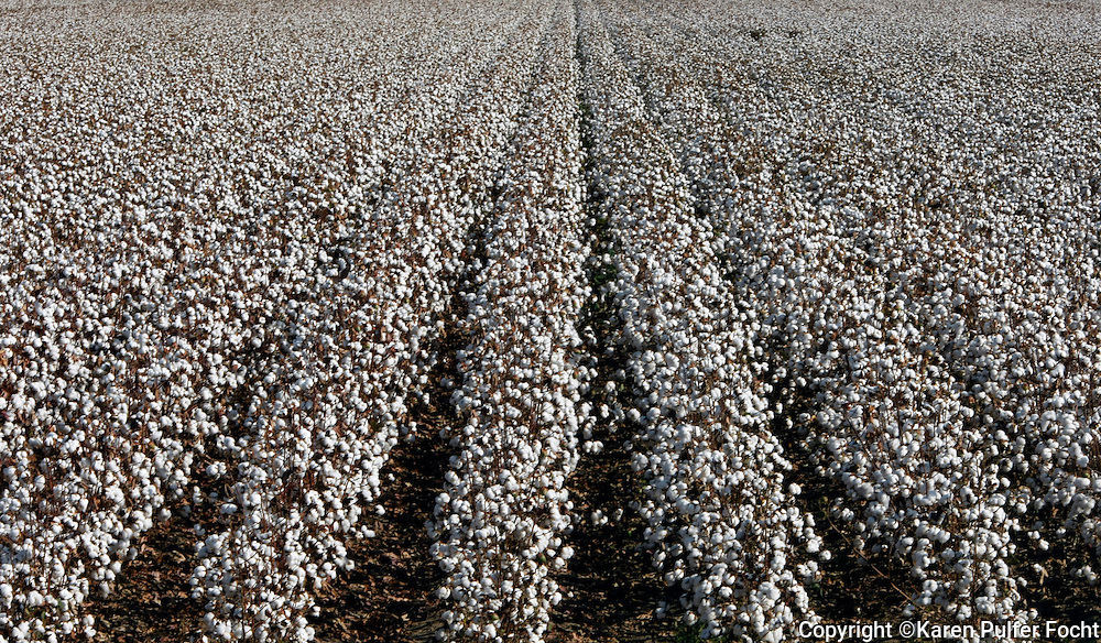 Some southern farmers say low prices for cotton are not worth the cost and effort involved in growing it. In the south, where cotton was once king,  there is now a decline in cotton acreage. The trend began nearly a decade ago. Large amounts of cotton pouring into the world market from China and India. This cotton is in Clarksdale Mississippi; Fall of 2015.