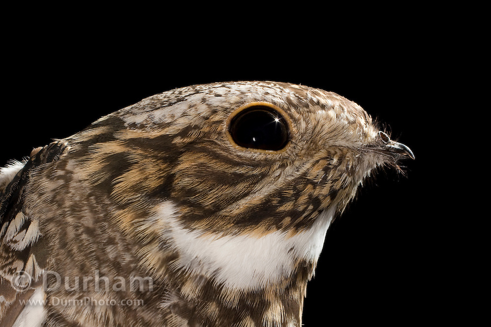 Portrait of a nighthawk (Chordeiles minor) showing its large nocturnal eye. Nighthawks hunt insects early in the morning and late into the evening, when light is minimal.