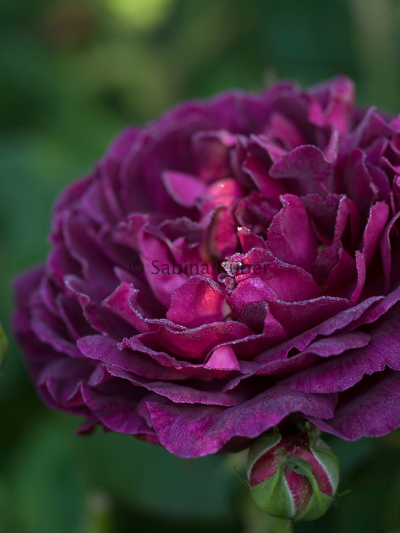 Rosa 'Chianti' - shrub rose
