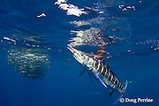 striped marlin, Kajikia audax (formerly Tetrapturus audax ), seizes errant sardine while feeding on baitball of sardines or pilchards, Sardinops sagax, off Baja California, Mexico ( Eastern Pacific Ocean ) #2 in sequence of 3 images