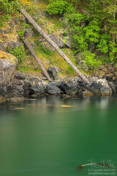 Two fallen Douglas Fir trees rest on a steep hillside overlooking Smallpox Bay on San Juan Island, Washington.