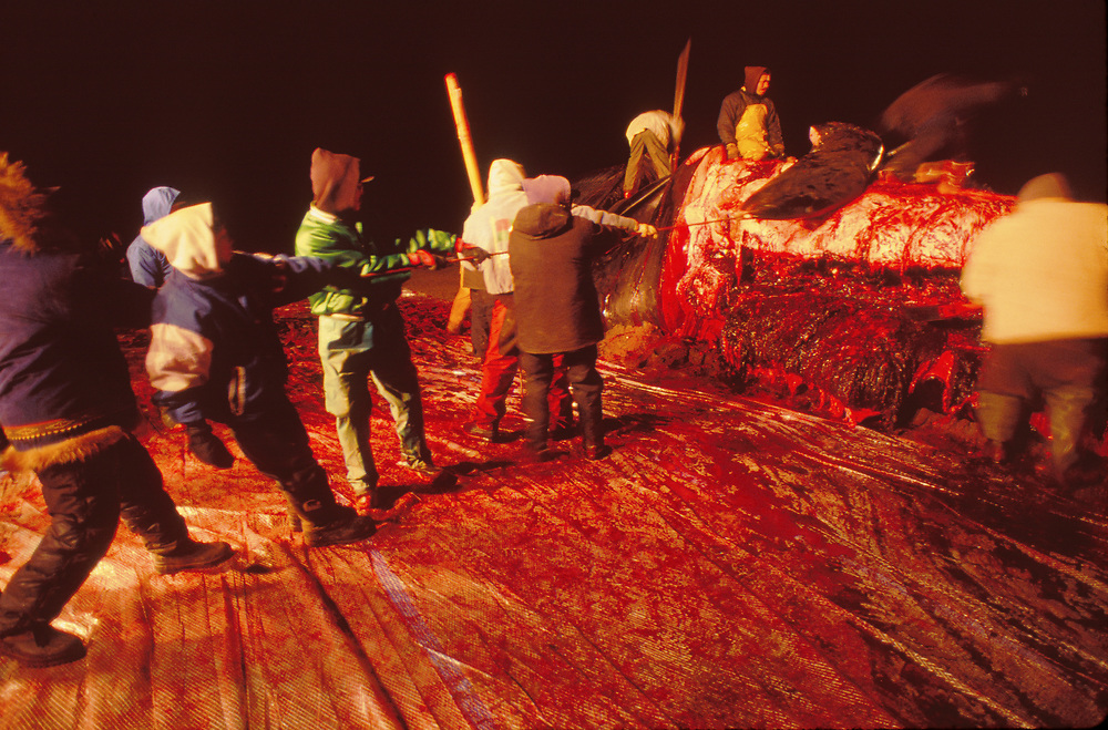 Barrow, Alaska, Villagers in Barrow harvesting meat and blubber from a Bowhead Whale