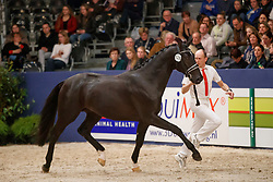 528, Kaliber<br /> KWPN Stallionshow - 's Hertogenbosch 2018<br /> © Hippo Foto - Dirk Caremans<br /> 03/02/2018