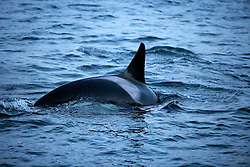 NORWAY TROMSO 5DEC15 - A pod of Orca whales swim in Kvaloya Sound near the arctic city of Tromso.<br /> <br /> jre/Photo by Jiri Rezac / Greenpeace<br /> <br /> © Jiri Rezac 2015