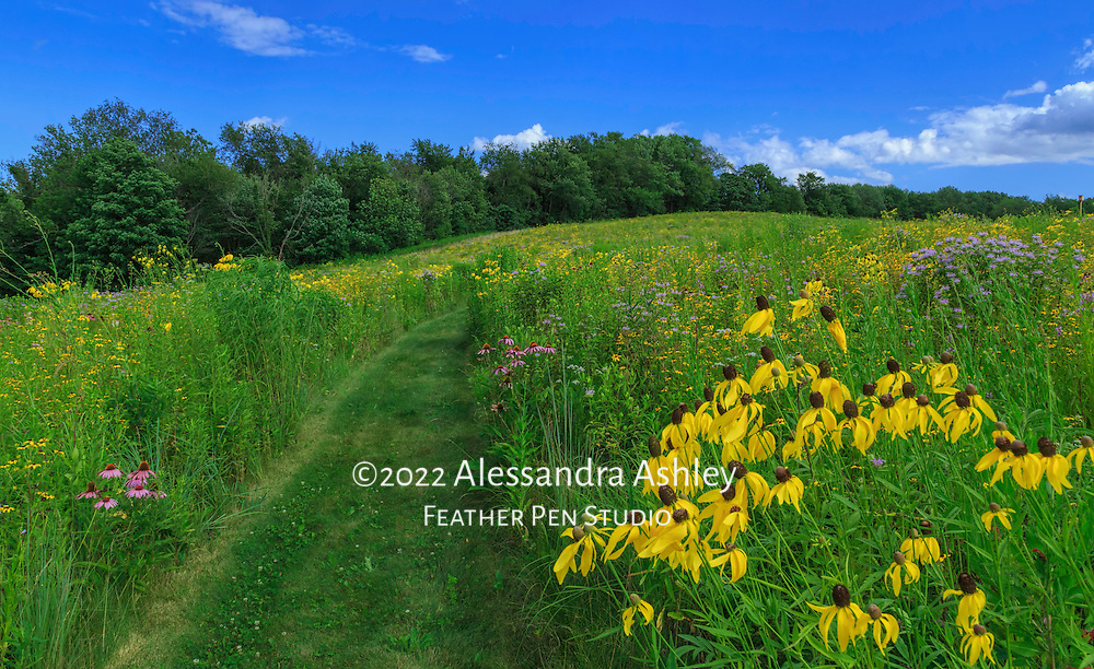Gently rolling landscape of central Ohio restored tallgrass prairie blooming with native wildflowers in late July.
