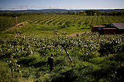 Jim Brenner walks through an orchard on Brenner Ranch in Newcastle, CA April 29, 2010.