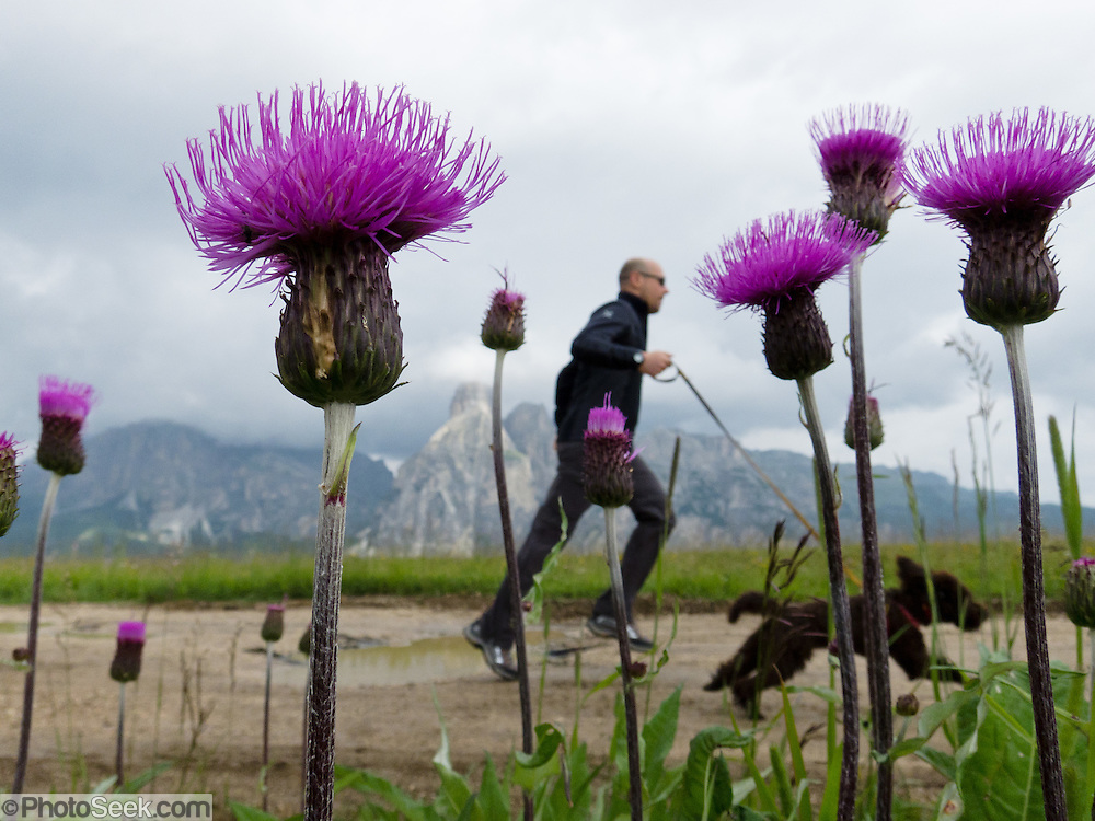 A man runs with leashed dog by purple knapweed at Col Alt, Pralongia, near Corvara, Dolomites, Italy, Europe. knapweed flower. Centaurea is a genus of hundreds of species of herbaceous thistle-like flowering plants (commonly called knapweed, starthistle, centaury, centory) in the family Asteraceae. Centaurea are found only north of the equator. A lift from Corvara to Col Alt reaches a scenic alp plateau with pleasant signed walks to mountain hotels including Pralongia, in the Dolomites, Italy, Europe. Corvara is a prestigious tourist center in Alta Badia, at the top of Val/Valle/Valley of Badia in the province of Südtirol/South Tyrol/Alto Adige, Italy. Corvara is surrounded by the peaks of the Dolomites (or Dolomiti), a part of the Southern Limestone Alps in Europe. The Dolomites were declared a natural World Heritage Site (2009) by UNESCO.