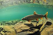 Lake Trout, Underwater