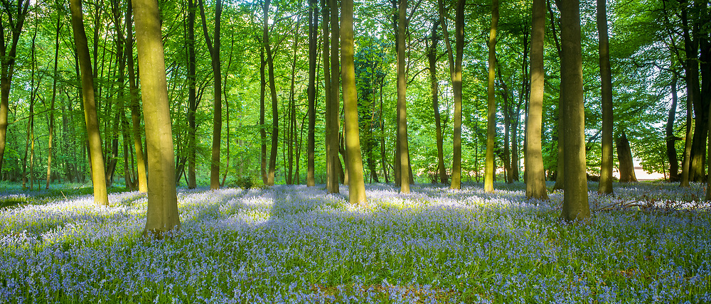 Dappled sunlight in bluebell wood and tree trunks in late Spring / early Summer in the Gloucestershire Cotswolds, UK