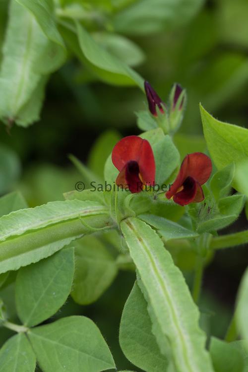 Tetragonolobus purpureus - asparagus pea