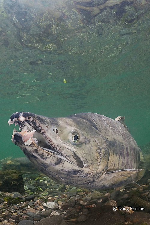 male chum salmon, dog salmon, silverbrite salmon, or keta salmon, Oncorhynchus keta, in spawning stream, showing hooked jaw or kype, with snaggle teeth characteristic of male ready to spawn, Bear Trap, Port Gravina, Alaska ( Prince William Sound )