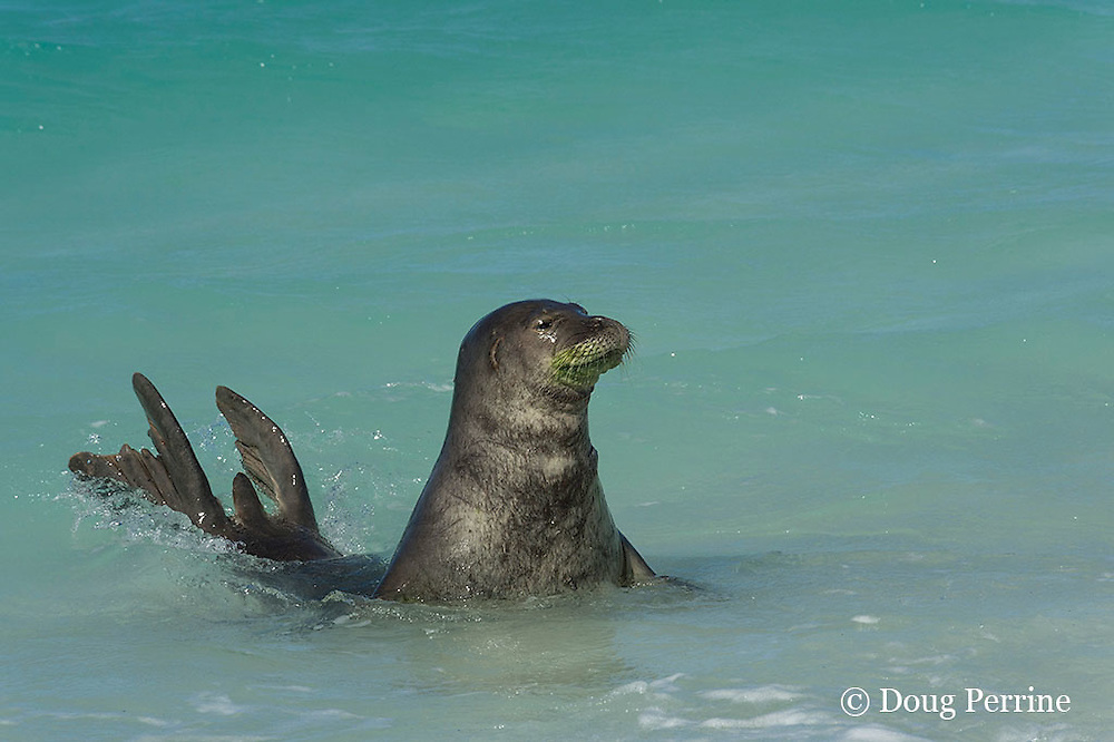 male Hawaiian monk seal, Monachus schauinslandi ( Critically Endangered Species ), spyhopping off beach on East Island, looking for females; fur around mouth is green from algae growth; French Frigate Shoals, Papahanaumokuakea Marine National Monument, Northwest Hawaiian Islands, USA ( Central Pacific Ocean )