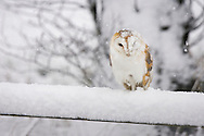 Barn Owl (Tyto Alba) adult perched on farm gate in snow. Norfolk, England.