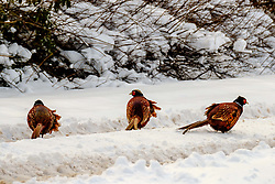 Male pheasants on a snow covered country road, South Lanarkshire, Scotland<br /> <br /> (c) Andrew Wilson | Edinburgh Elite media