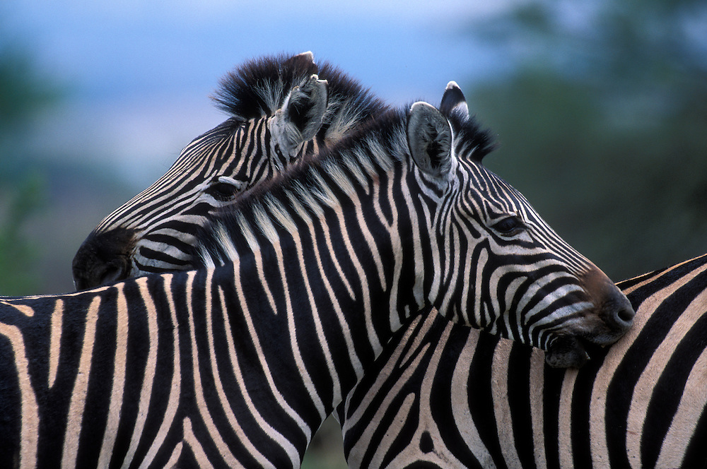 South Africa, Pilanesburg Game Reserve,  Plains Zebra (Equus burchelli) stand side by side while feeding in grassland