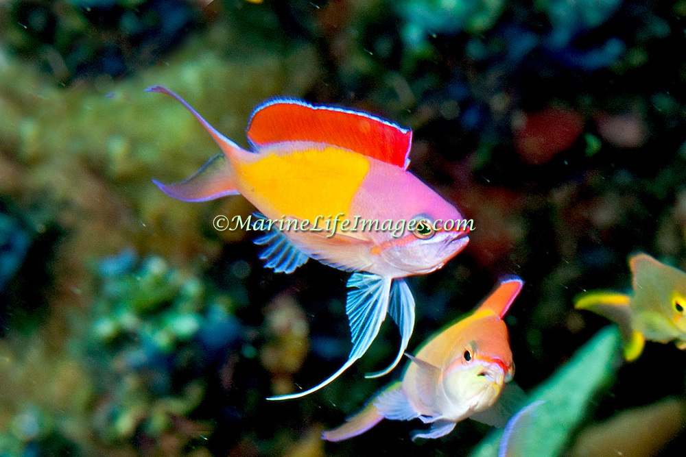 Redfin Anthias inhabit reefs often along the upper edge of steep slopes. Picture taken Ambon, Indonesiai.