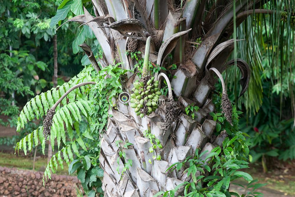 O bacuri pertence a familia Palmae, apresentando como nomes comuns o acuri e o acurizeiro. Especie Scheelea phalerata Mart.  / The bacuri palm tree with fruit (Scheelea phalerata Mart.)