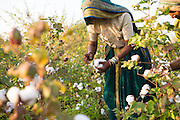 Harvesting organic cotton on a farm in  Sendhwa, India.<br /> <br /> Sheela and Manga have recently converted to organic cotton farming with help from the Aga Khan Foundation who are working in partnership with the C&A Foundation.