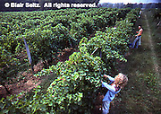 Nissley Vineyard grape harvest, Lancaster County, Pennsylvania