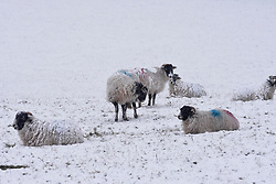 © Licensed to London News Pictures. 06/02/2018. Penrith, UK.  Sheep covered in a heavy flurry of snow fall in Penrith, Cumbria  as most of the UK is hit by freezing temperatures. Photo credit: Ben France/LNP