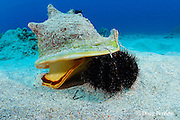 horned helmet shell or pu puhi, Cassis cornuta, attacks a collector urchin or hawa e maoli, Tripneustes gratilla, trapping it under the lip of its shell, Honokohau, Kona, the Big Island, Hawaii, USA ( Central Pacific Ocean ) 4 in sequence of 4