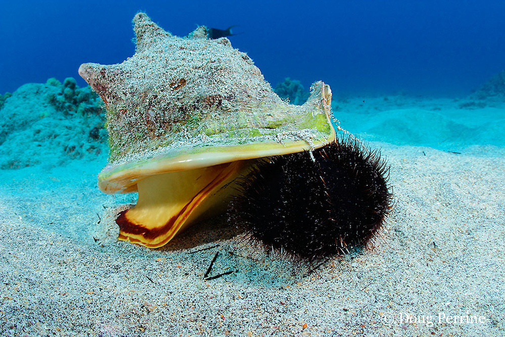 horned helmet shell or pu puhi, Cassis cornuta, attacks a collector urchin or hawa e maoli, Tripneustes gratilla, trapping it under the lip of its shell, Honokohau, Kona, the Big Island, Hawaii, USA ( Central Pacific Ocean ) 4 in sequence of 4