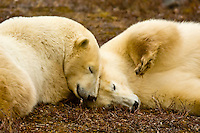 Two female polar bears sparring (play fighting) in the fog along Hudson Bay, near Churchill, Manitoba, Canada