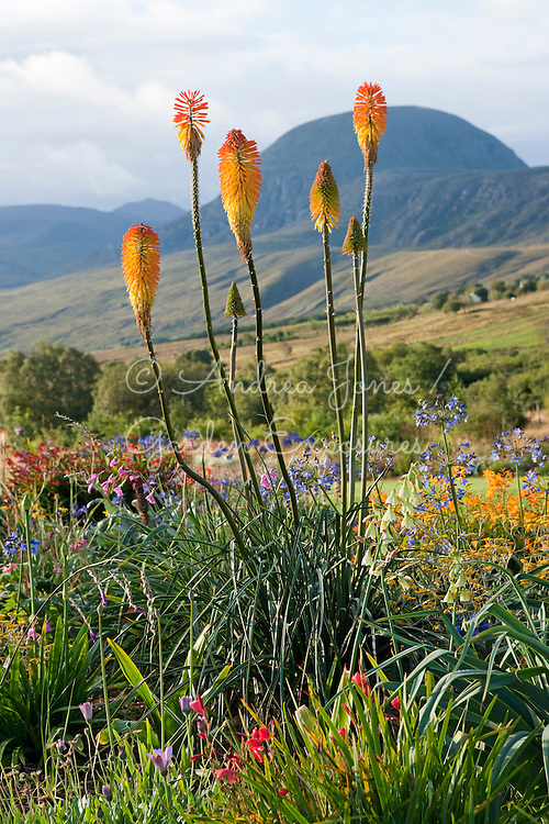 Kniphofia in the flowering South African bed <br /> <br /> 2 Durnamuck, Little Loch Broom, Wester Ross, Scotland