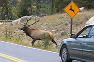 A bull Rocky Mountain elk runs across a highway next to a wildlife crossing sign in Colorado.