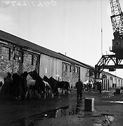 16/01/1960<br /> 01/16/1960<br /> 16 January 1960<br /> Horses for slaughter being loaded for export to the Netherlands from Dublin. Horses waiting to be loaded onto the ship.