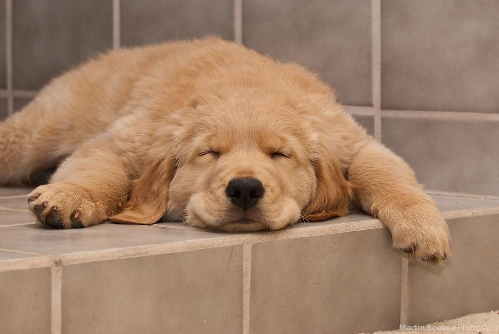 A ten-week-old golden retriever puppy sleeps hard after playing