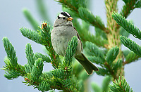 White-crowned Sparrow (Zonotrichia leucophrys), Muskwa-Kechika, British Columbia, Canada   Photo: Peter Llewellyn