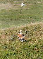 ZANDVOORT - Een hert op de driving' range van de Kennemer Golfclub. COPYRIGHT KOEN SUYK