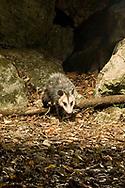 Virginia Opossum (Didelphis virginiana)<br /> TEXAS: Travis Co.<br /> Brackenridge Field Laboratory; Austin<br /> 6-Nov-2008<br /> J.C. Abbott<br /> photographed with trap camera